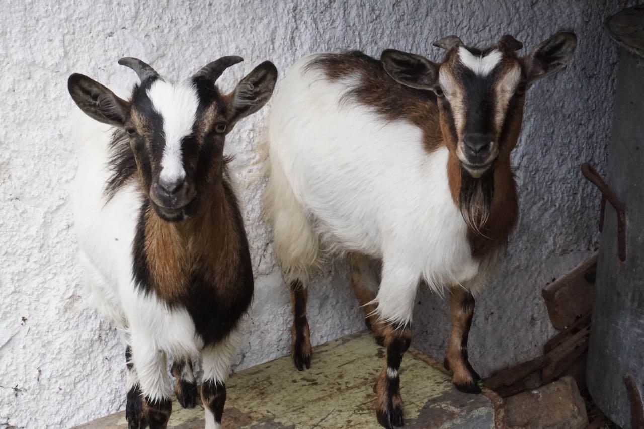 capre-tibetane